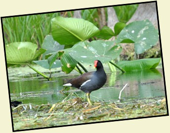 08 - Animals - Common Moorhen 2