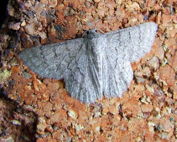 Geometridae : Geometrinae : Crypsiphona ocultaria DONOVAN, 1805. Mount Kuring-gai, New South Wales (Australie), 21 janvier 2007. Photo : Barbara Kedzierski
