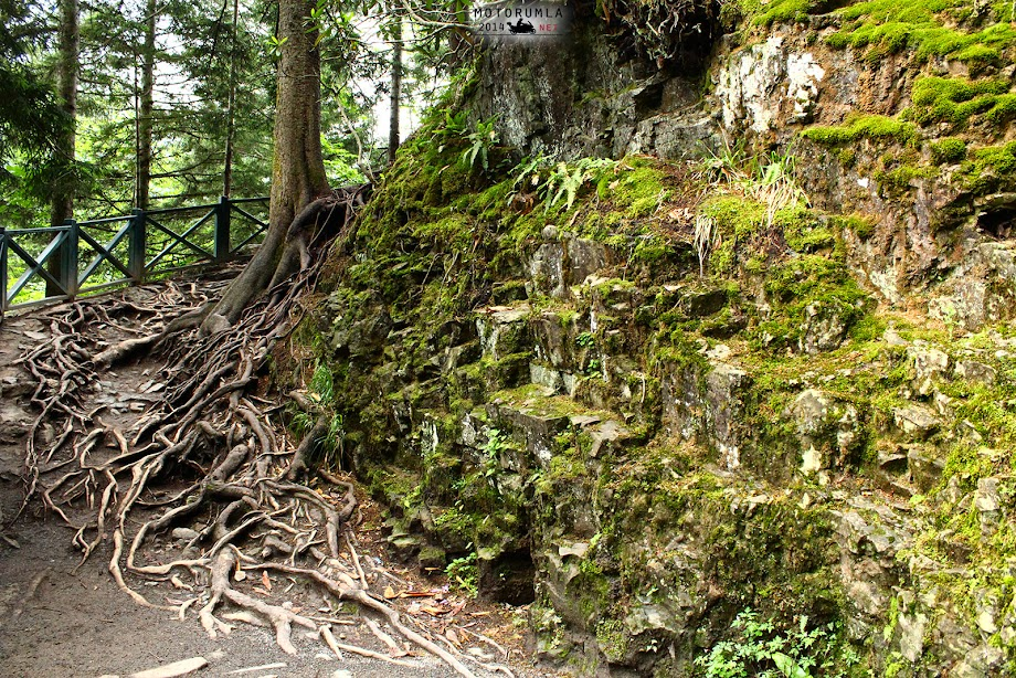 büyük ağaç kökü