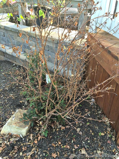 pruning knock out roses