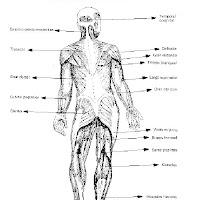 cuerpo humano musculos posteriores