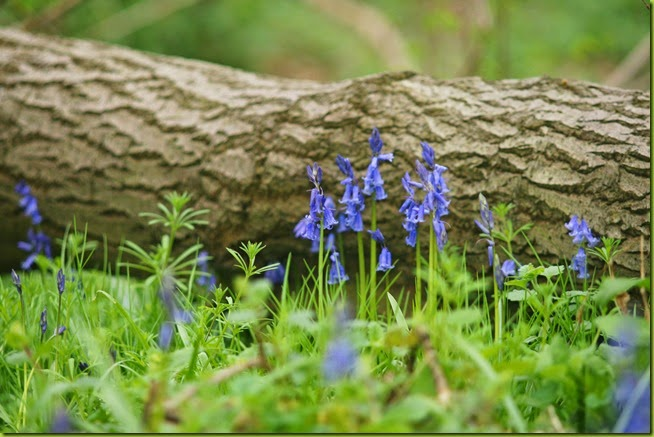 fallen tree with bluebells