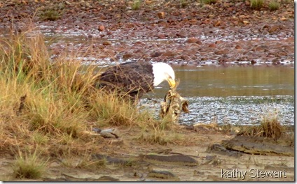 Eagle with fish carcass