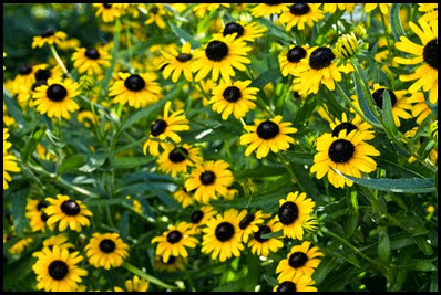 black-eyed-susan5