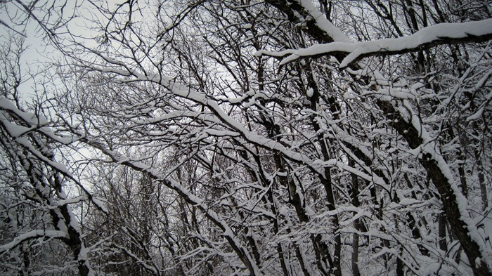 snow covered branches on Pipeline Trail in Millcreek Canyon Utah