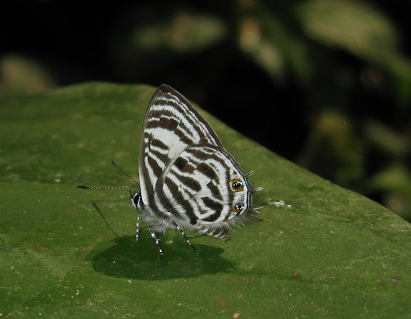 Anthene lachares HEWITSON, 1878, mâle. Bobiri Forest (Ghana), 15 décembre 2009. Photo : Henrik Bloch