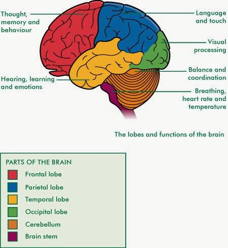 Major Functions of Cerebrum (Prosencephalon) ~ Biology ...