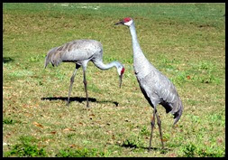 01b - bike ride - Sand Hill Cranes