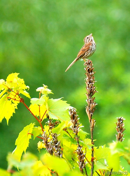 9. song sparrow-kab