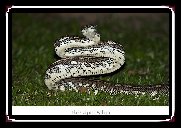 Carpet Python Snake