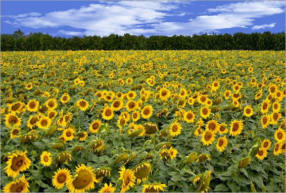 Sunflowers - France-