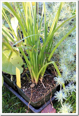 121212_Morningsun_plants_Kniphofia-Elvira_01