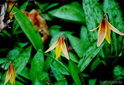 10. trout lily-kab