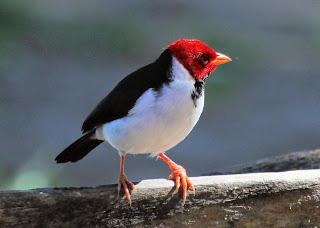Suara burung red crested cardinal