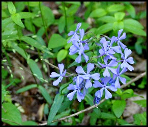 04 - Spring Wildflowers - Blue Phlox