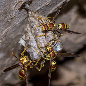 Under Construction by Robert Marquis - Nature Up Close Hives & Nests ( wasp, texas, nest, under construction, insects, close up, wasps,  )
