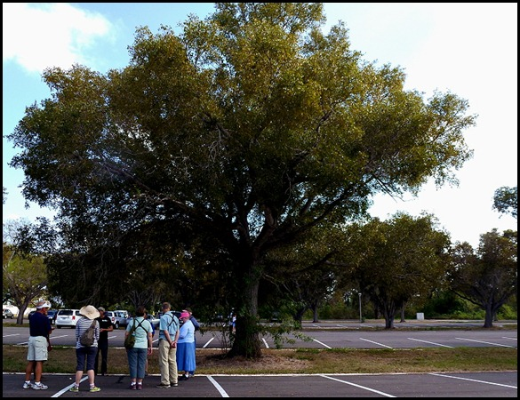 10d - Tree Walk - Mahogany Tree