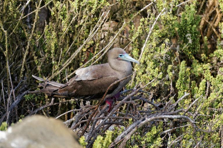 red footed booby punta pitt galapagos