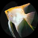 Photo of Angel Fish