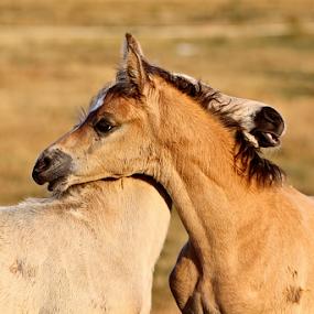 Mystic gold & Schnappy by Glenys Lilley - Animals Horses ( foal horse buckskin palomino animal,  )