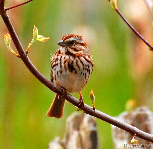 1. song sparrow-kab