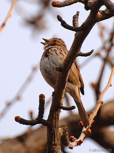8. Song Sparrow kathiesbirds