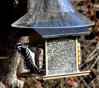 DSC_0575 hairy woodpecker