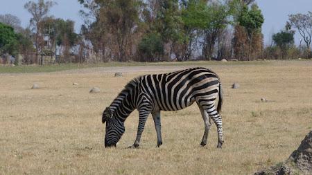 Zebra la Lion Park