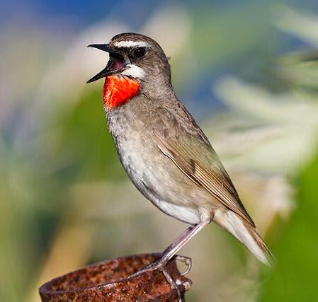 Burung siberian rubythroated bersuara merdu