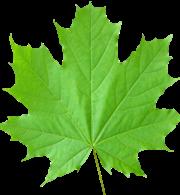 Square Maple