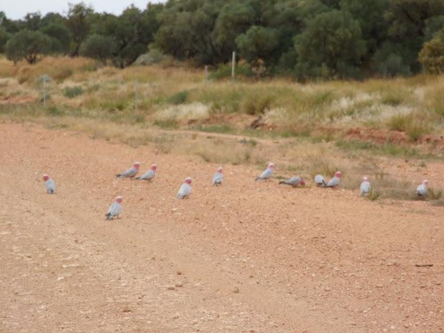 Plenty Hwy _ Galah birds .JPG