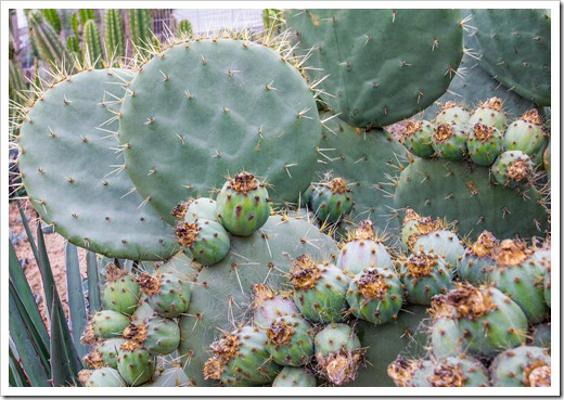 120928_SucculentGardens_opuntia-fruit