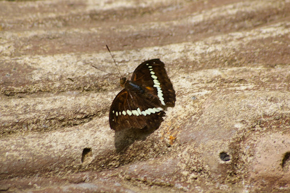 Bassarona teuta bellata DRUCE, 1873. Poring (Sabah, Malaisie, Bornéo), 31 juillet 2011. Photo : J.-M. Gayman