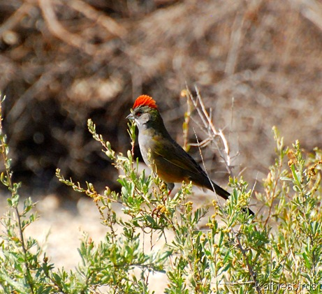 10. greeentailed towhee-kab