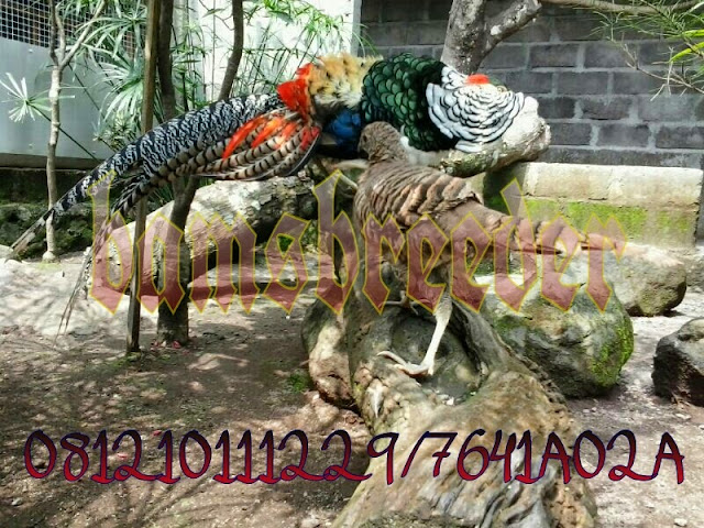 jual ayam lady amherst pheasant