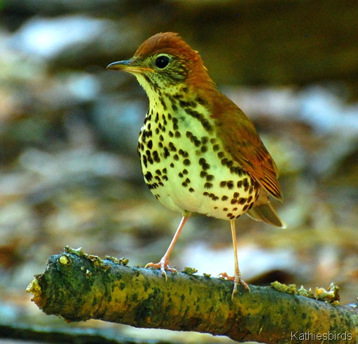 1. Wood thrush-kab