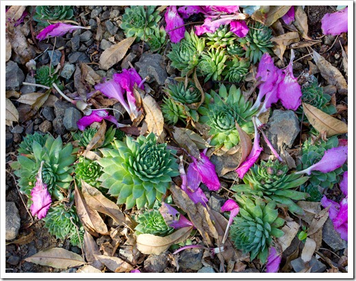 121013_RBG_fall_sale_sempervivums