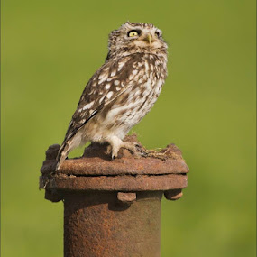 One of the last three edited Little Owl images.  More can be found on my website - mjfdigitalphotography.com by Marlene Finlayson - Animals Birds