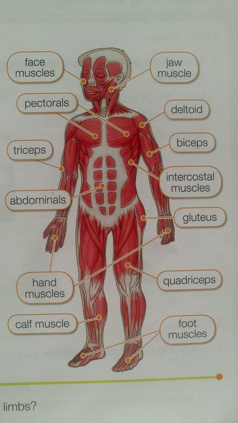 My English Blog  The Muscular System