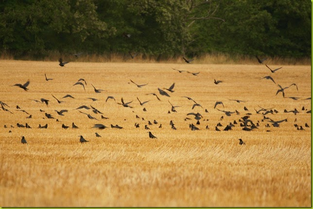 crows in stubble field