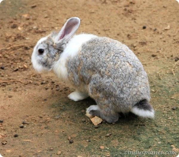 chok chai farm rabbit