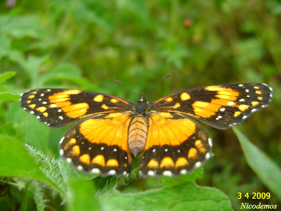 Chlosyne lacinia saundersi (DOUBLEDAY, [1847]). Pitangui (MG, Brésil), 3 avril 2009. Photo : Nicodemos Rosa
