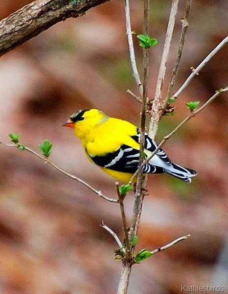 6. goldfinch Andover-kab