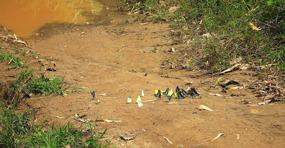 Au centre : Pieridae dont Belenois calypso DRURY, 1773. À droite : Graphium policenes CRAMER, 1775. Bobiri Forest (Ghana), 19 janvier 2006. Photo : J. F. Christensen