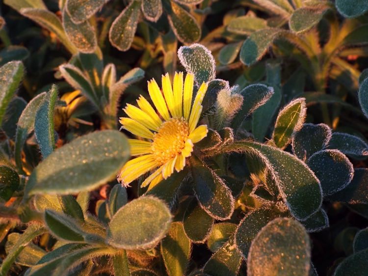 yellow flowers on a frosty morning