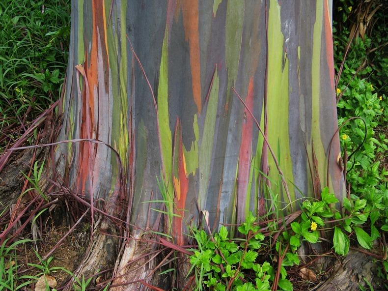 rainbow-eucalyptus-4