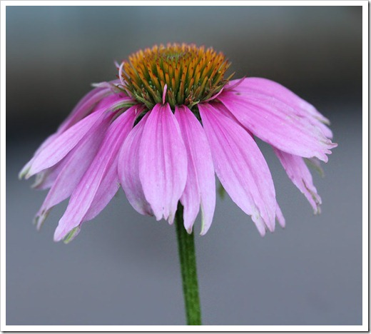 110623_Echinacea-Kims-Knee-High_05