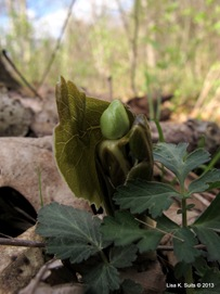 mayapple unfurling leaf