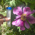 Rosa de monte