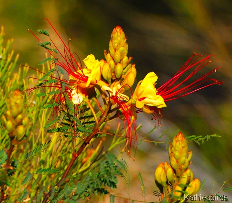 10. mexican bird of paradise-kab